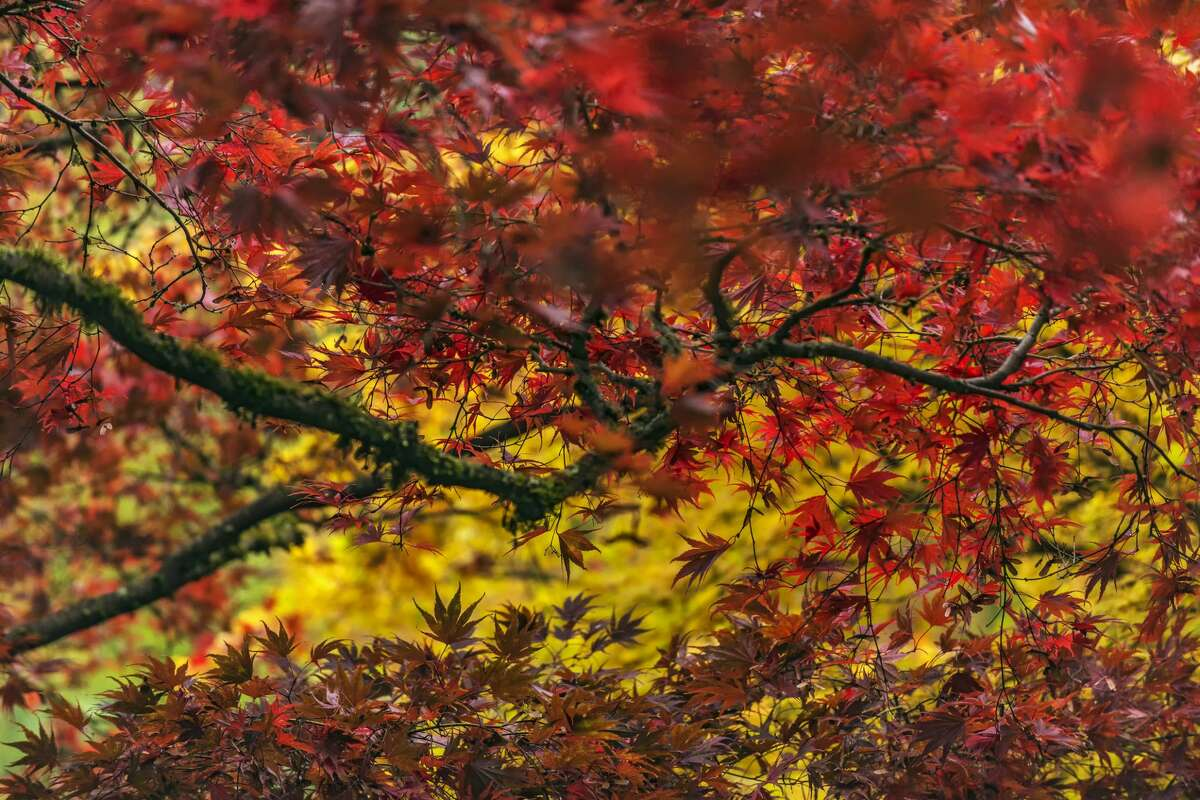 A blaze of colors from maple leaves in Washington Park Arboretum in Seattle.