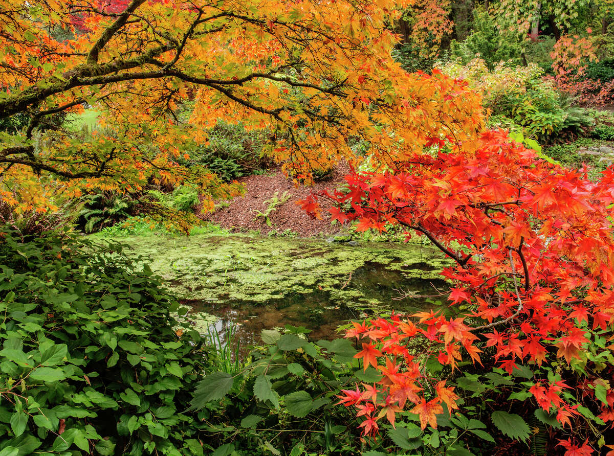 A small pond is framed by colorful Japanese maples on an autumn morning in Seattle's arboretum.