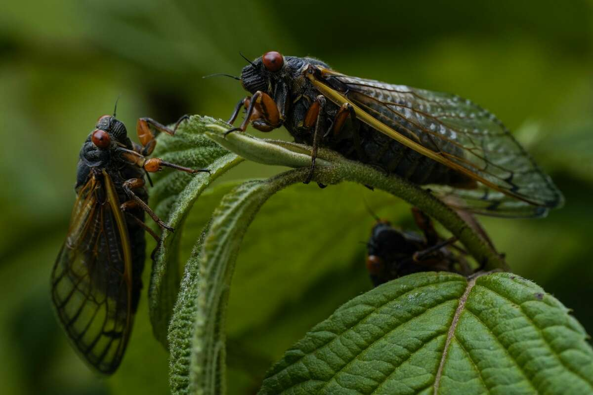 Adult cicadas rest on a plant at Woodend Sanctuary and Mansion, in Chevy Chase, Maryland.