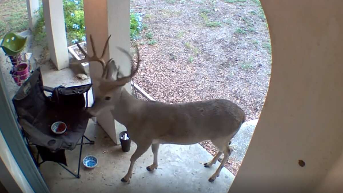 A deer visited a Northwest Side home twice to eat cat food.