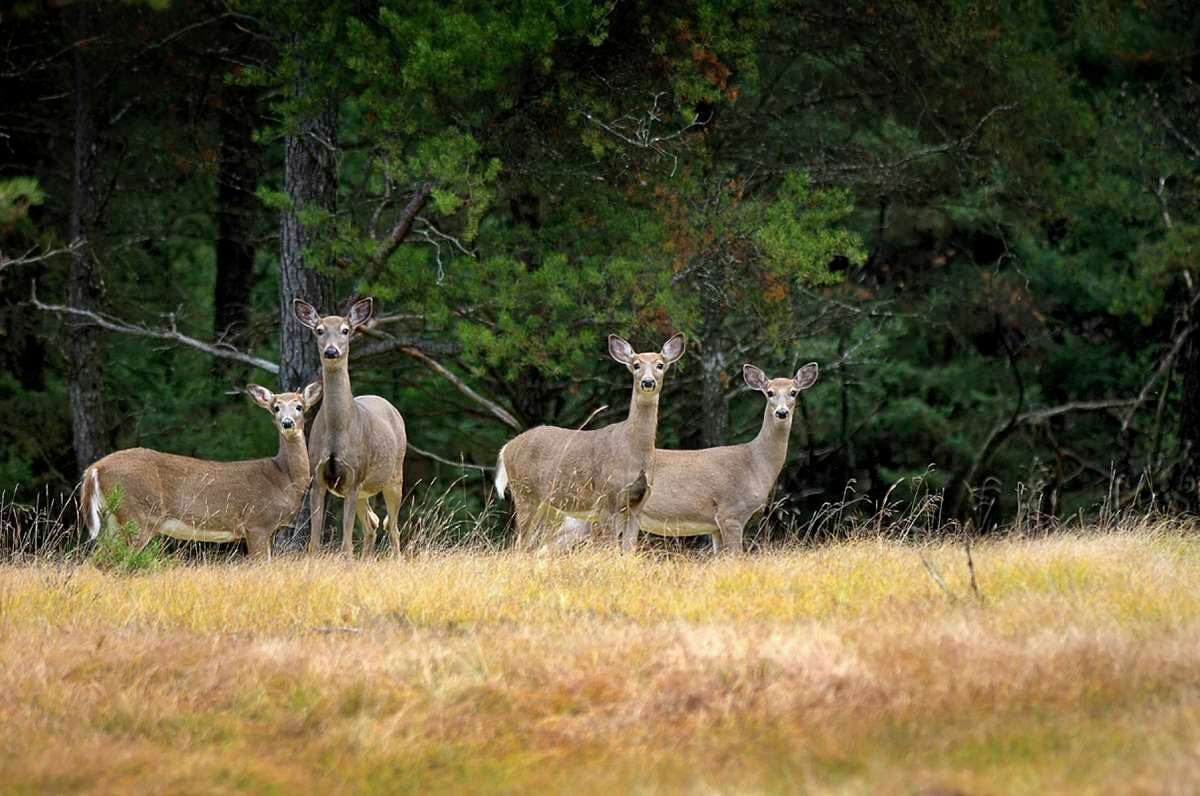 White-tailed deer hunting seasons are in various stages in Manistee County. Here are some things to keep in mind when hunting in the Manistee National Forest this season. (Courtesy photo)