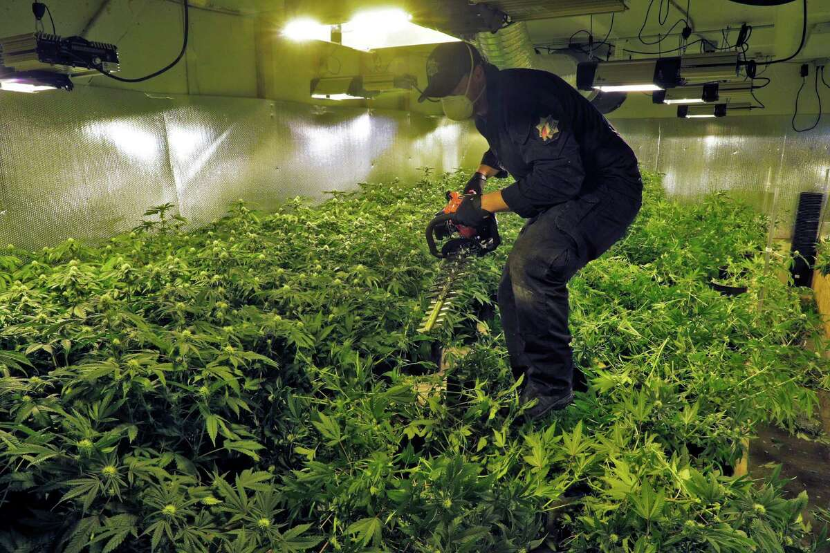 A member of the Alameda County narcotics task force cuts down juvenile marijuana plants in a grow room at a warehouse off Neptune Avenue in San Leandro on Thursday. The narcotics task force raided 18 locations and confiscated what is believed to be about 100,000 illegally grown marijuana plants.