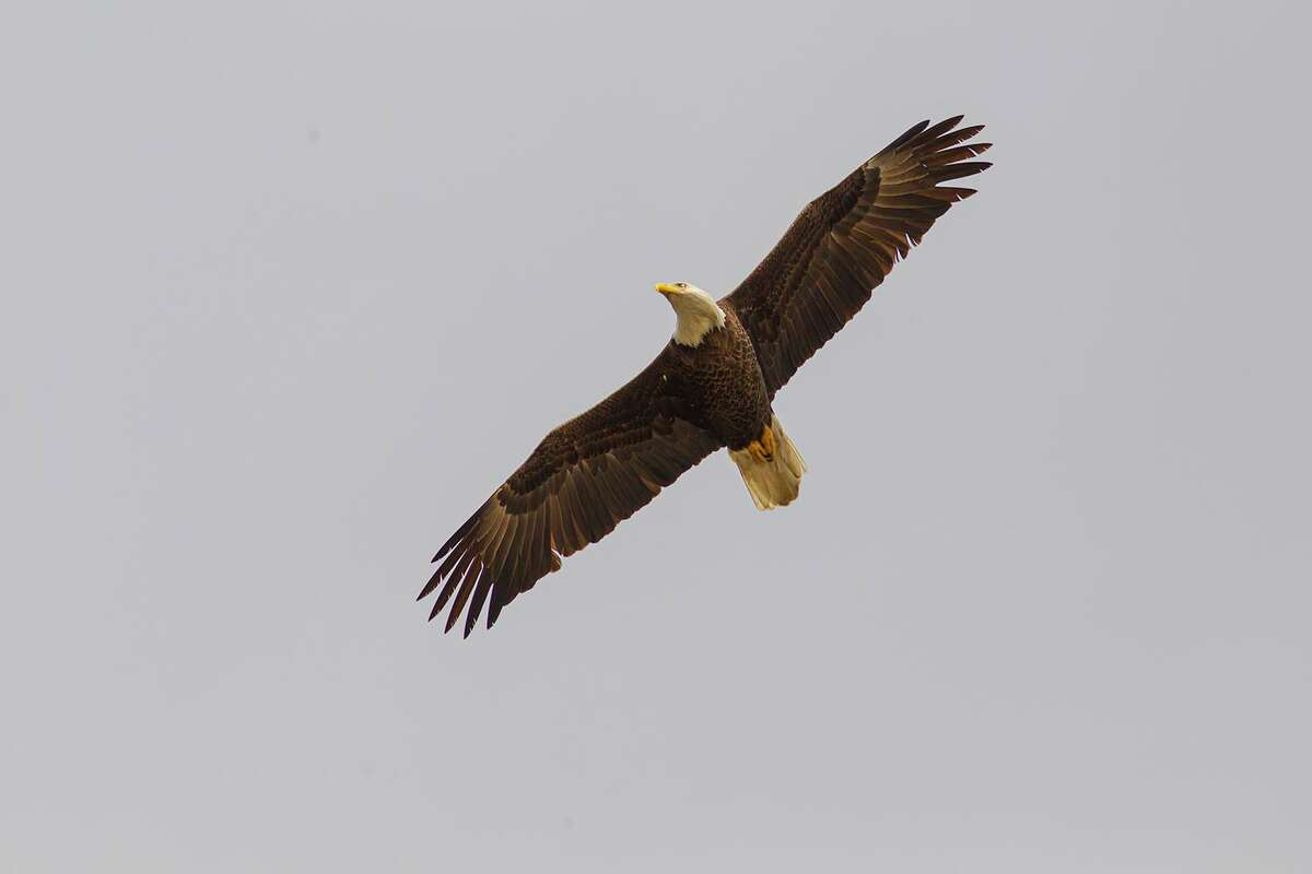 Bald eagles are showing up all around Houston. They have a 6 to 8-foot wingspan. Photo Credit: Kathy Adams Clark. Restricted use.
