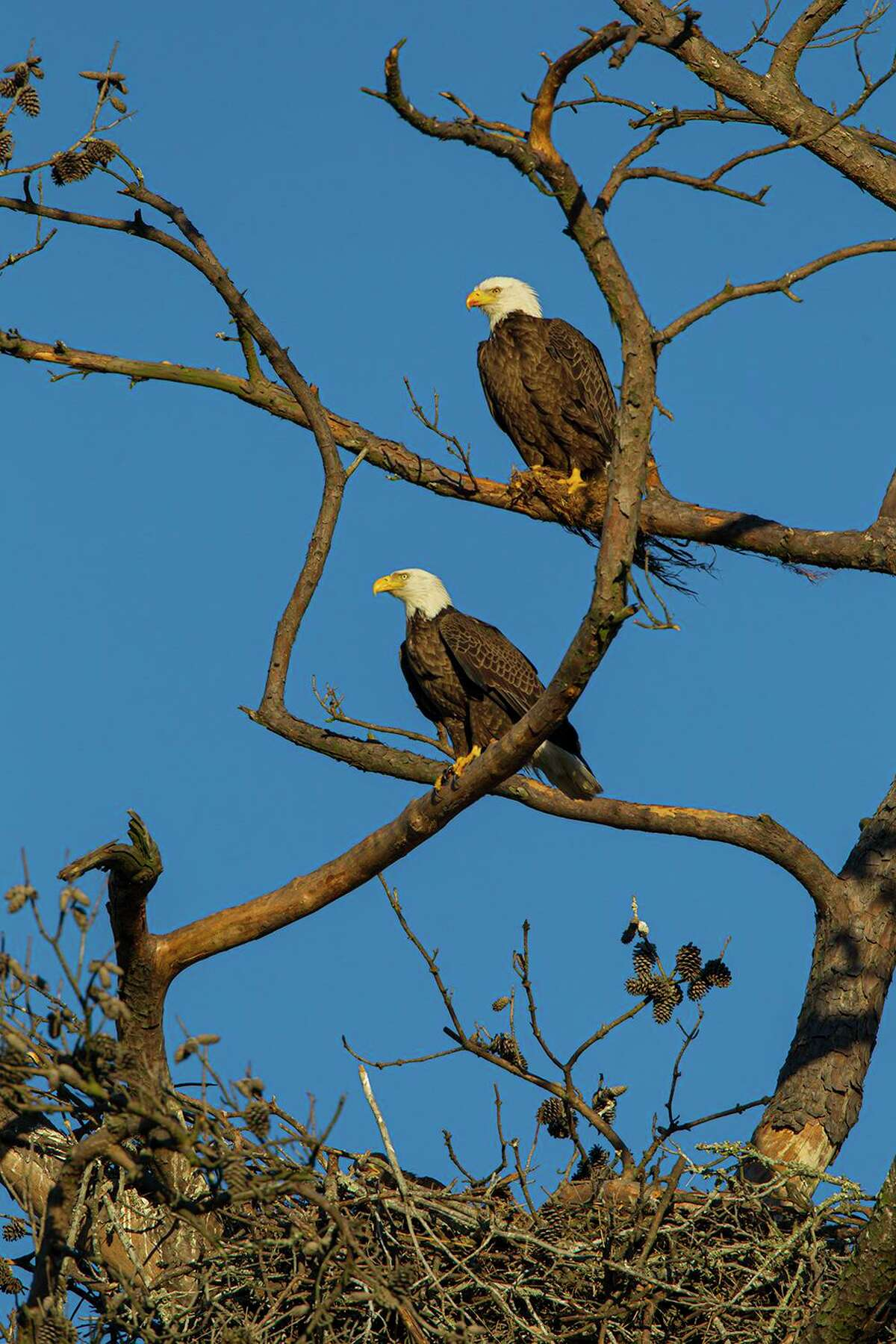 A pair of bald eagles bring tree limbs to the nest site and build a huge, tub-like structure. Photo Credit: Kathy Adams Clark. Restricted use.