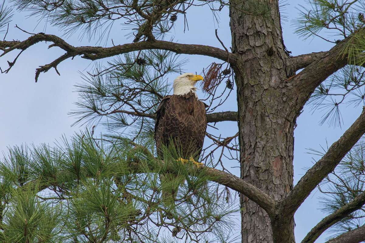 Bald eagles are showing up all around Houston. Photo Credit: Kathy Adams Clark. Restricted use.