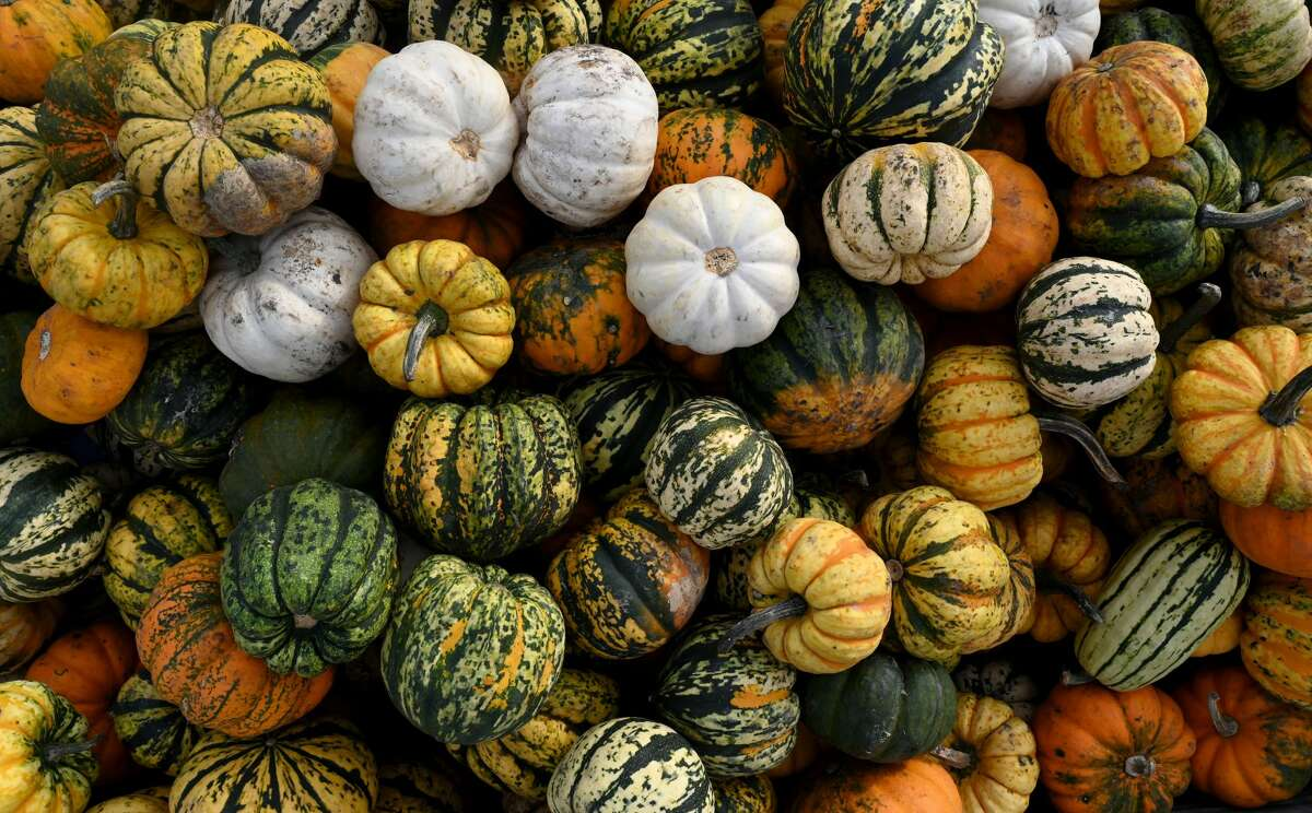 FILE - Pumpkins are pictured in a field. (Photo by CHRISTOF STACHE/AFP via Getty Images)