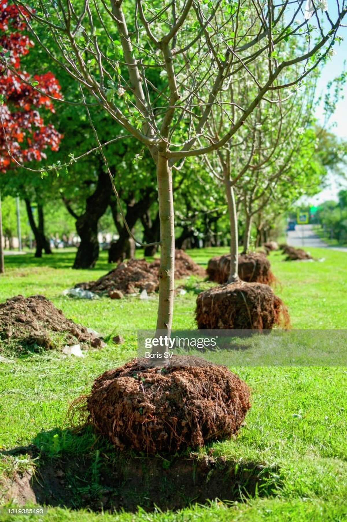 Big Rapids department of public works will be replacing lost trees throughout the city with the help of a grant from Consumers Energy. (Photo courtesy of Getty Images)