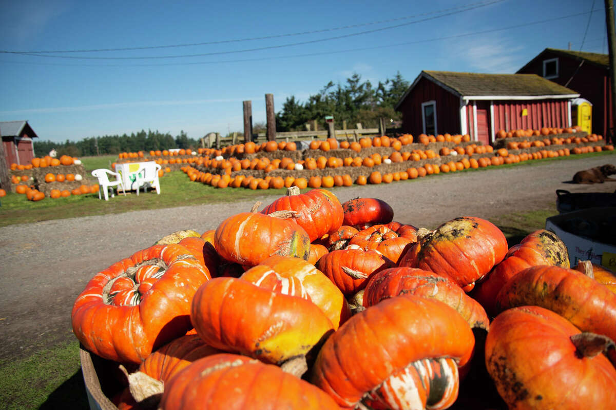 Pumpkins at Sherman's Pioneer Farm on Ebey Road in Coupeville
