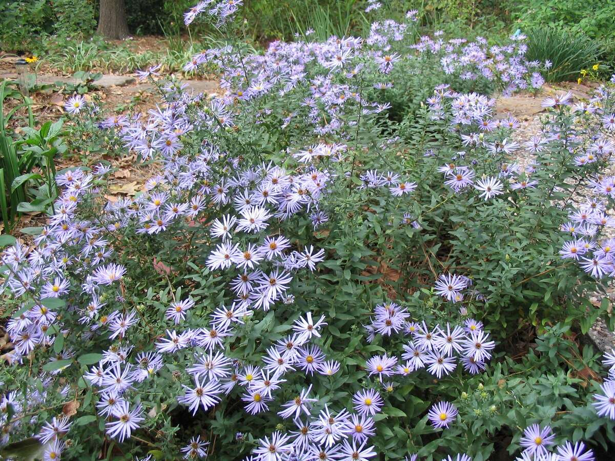 Perennial aromatic aster, Symphyotrichum oblongifolium, blooms beautifully in fall and provides bees and butterflies with nectar and pollen.