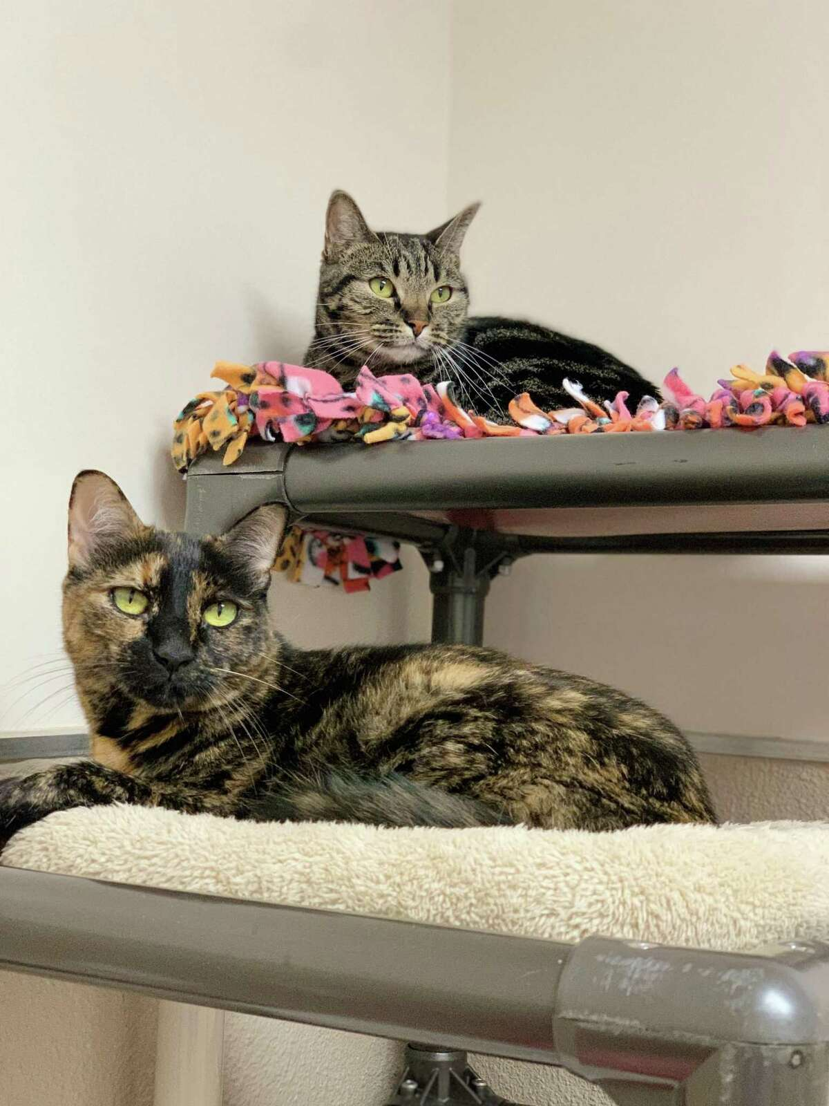 No sibling rivalry here! Sisters Autumn and Elsa love each other and are looking for a home together at the Connecticut Humane Society. They weren't littermates, but in their minds, they are siblings through and through. Autumn, the tiger tabby, is 4 years old, and Elsa, the tortie, is 7 years old. They enjoy laying near each other and grooming each other, but they soak up attention from people, too. They are also smart cookies and know how to open doors! This pair would do well in a quiet household, as they love to nap and lounge around, and kids who are a bit older would be best for them. Visit CThumane.org/adopt to learn more. An online application can be found in each pet's profile.