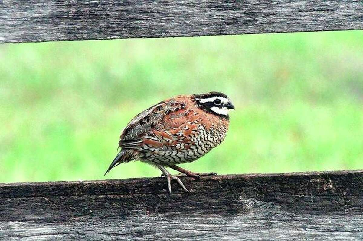 A young quail sits perched on a fence.