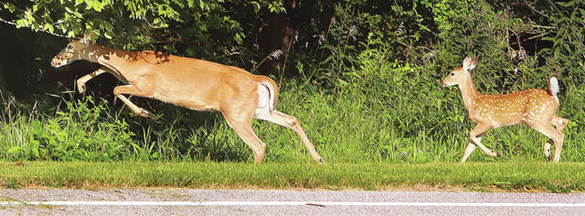 Two deer sprint near the woods at Southern Illinois University Edwardsville in August. State officials are urging caution by motorists as deer enter the mating season and crops are being removed from Riverbend fields.