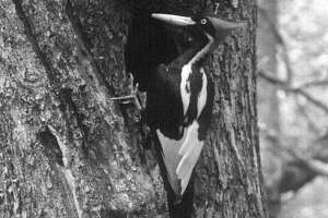 In this undated still photo taken from video and provided by the Cornell Lab of Ornithology, an ivory-billed woodpecker is seen. The Associated Press has learned that the U.S. government is declaring the ivory-billed woodpecker and 22 assorted birds, fish and other species extinct. It's a rare move for wildlife officials to give up hope on a plant or animal, but government scientists say they've exhausted efforts to find these 23. (Cornell Lab of Ornithology via AP)