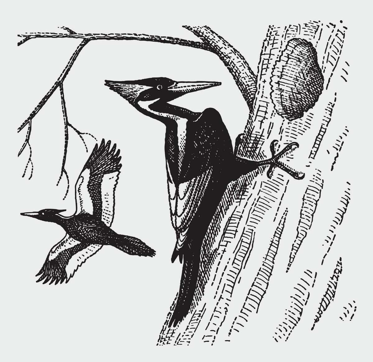 An extinct ivory-billed woodpecker excavating a hole in a tree trunk in an illustration patterned after an engraving from the early 20th century. (Dreamstime/TNS)