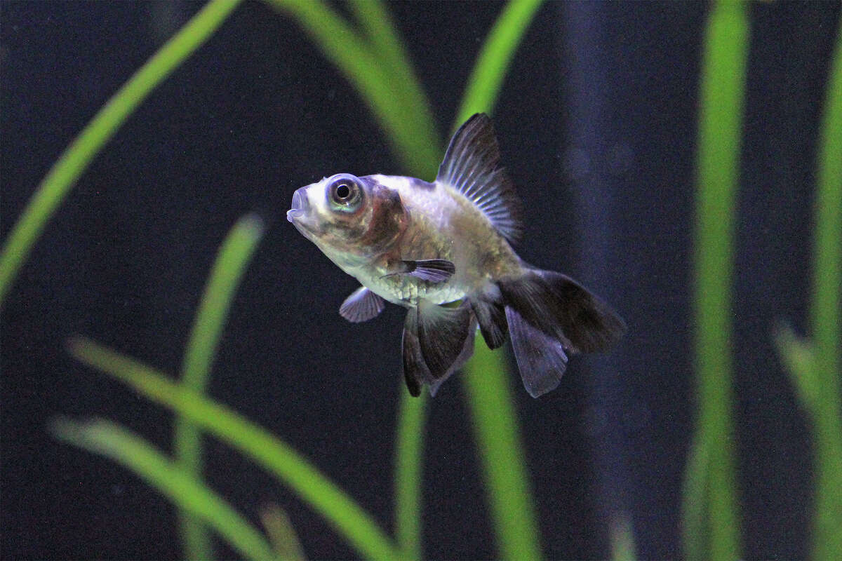 """A new exhibit at the Maritime Aquarium in Norwalk, Conn. called """"Think You Know Goldfish?"""" will bring guests through the cultural history of the fish, as well as debunk misconceptions and explain proper care practices. Pictured is a panda moor goldfish."""
