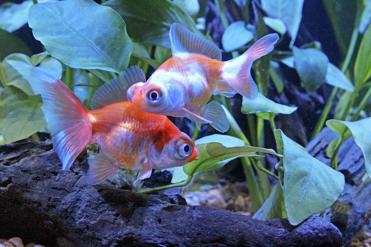 """A new exhibit at the Maritime Aquarium in Norwalk, Conn. called """"Think You Know Goldfish?"""" will bring guests through the cultural history of the fish, as well as debunk misconceptions and explain proper care practices. Pictured is a telescope goldfish."""
