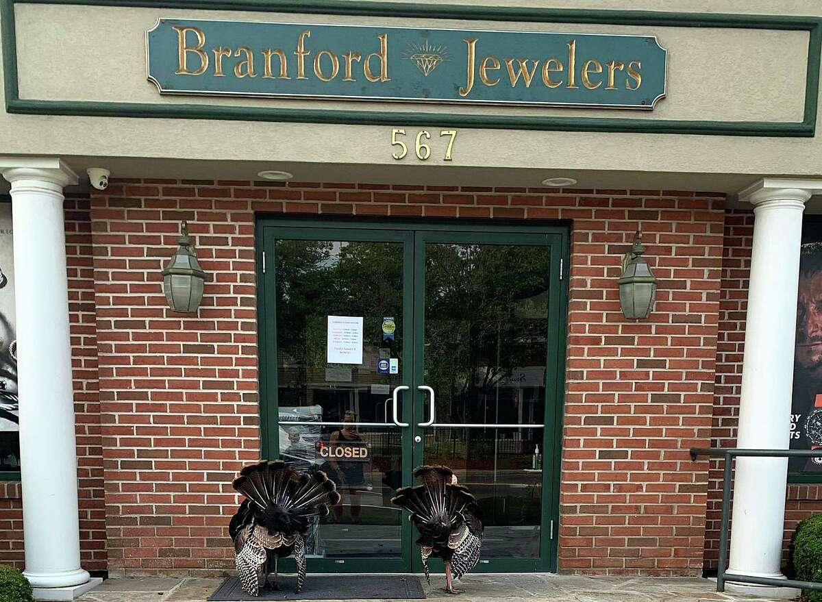 The two young Tom turkeys are seen in front of Branford Jewelers on Main Street.