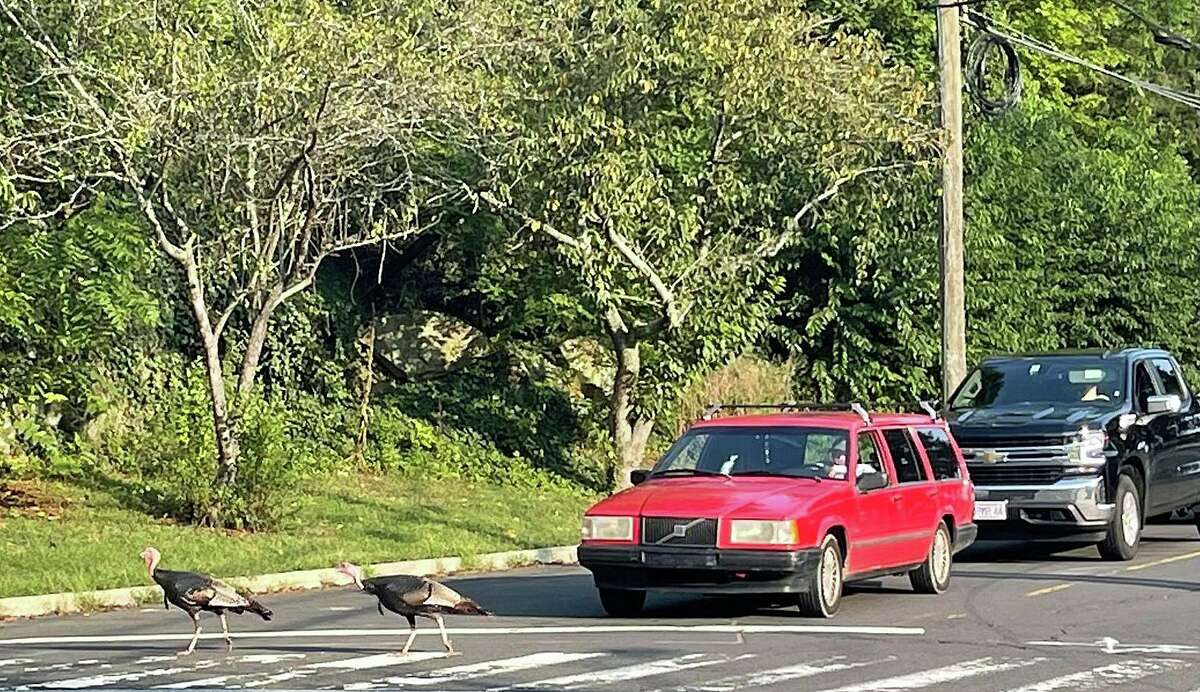 """The """"famous"""" wild turkeys cross the road and halt traffic for a few moments in Branford"""