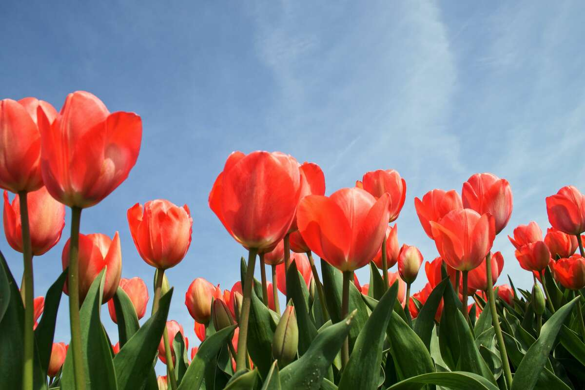 Tulip Time is May 7-May 15, 2022.