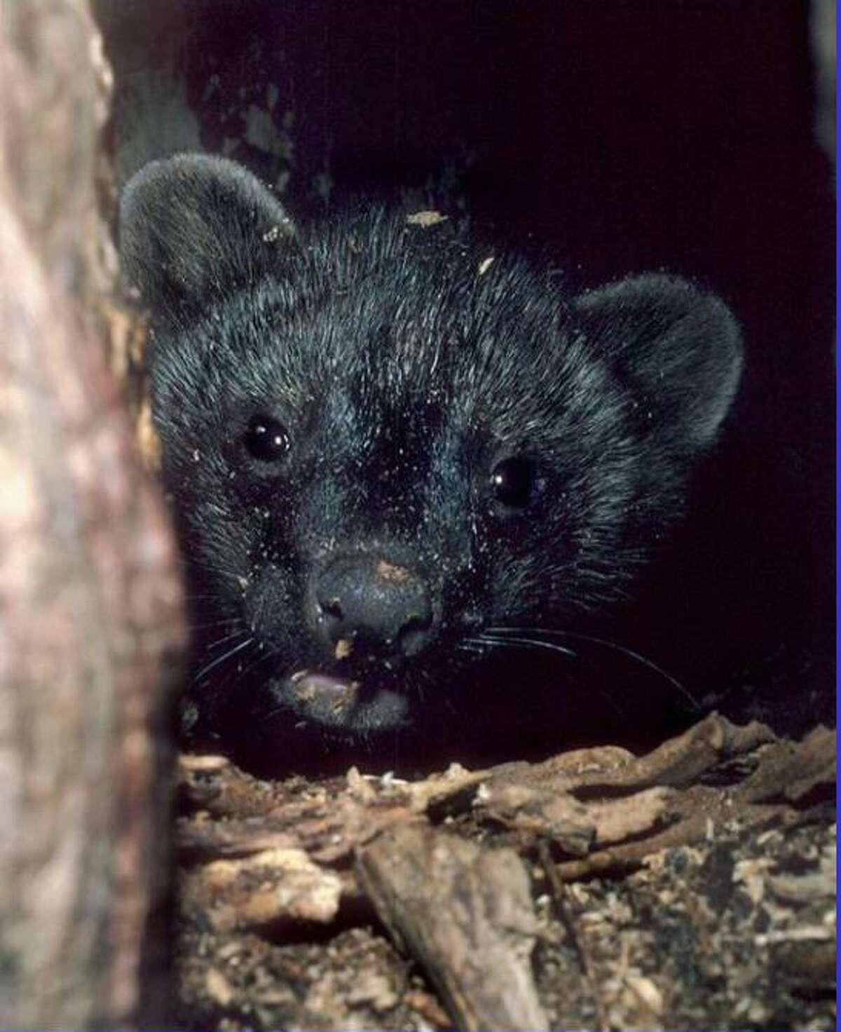 Ginny Apple will give a talk on Fisher Cats Oct. 30 on Zoom, presented by the Hunt Library in Falls Village.