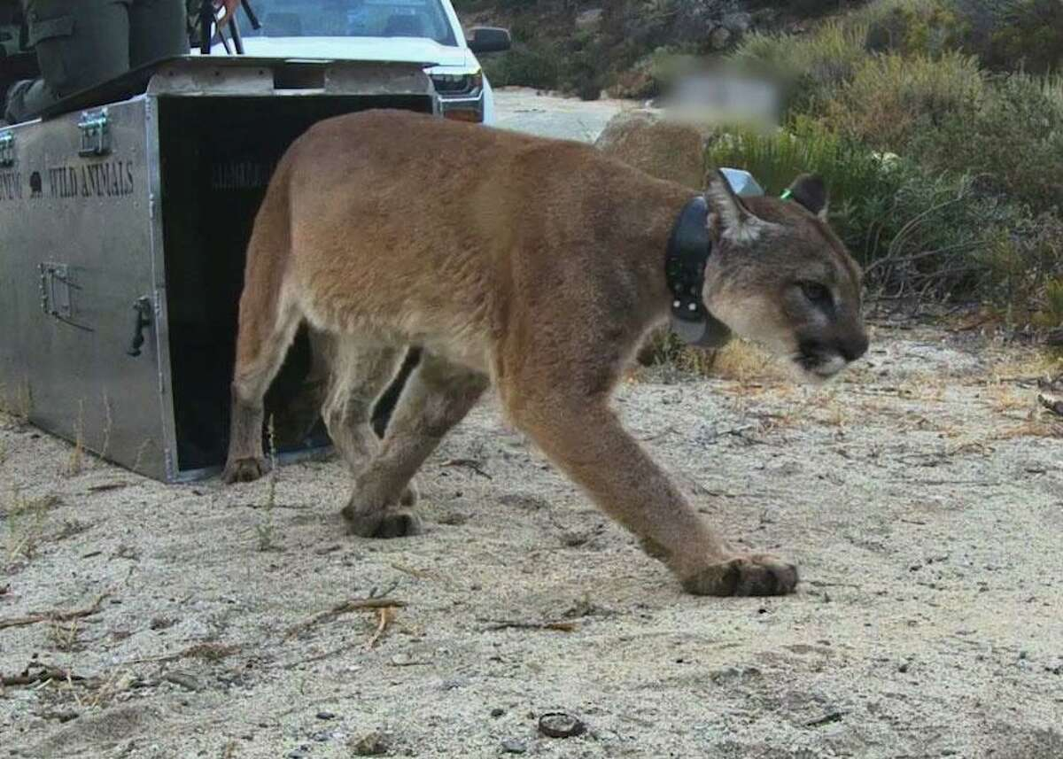 A female mountain lion nicknamed Monrovia was released into the wild after being rehabilitated following burns to her paws from a wildfire last year. She was found dead recently after living in the wild for almost a year.