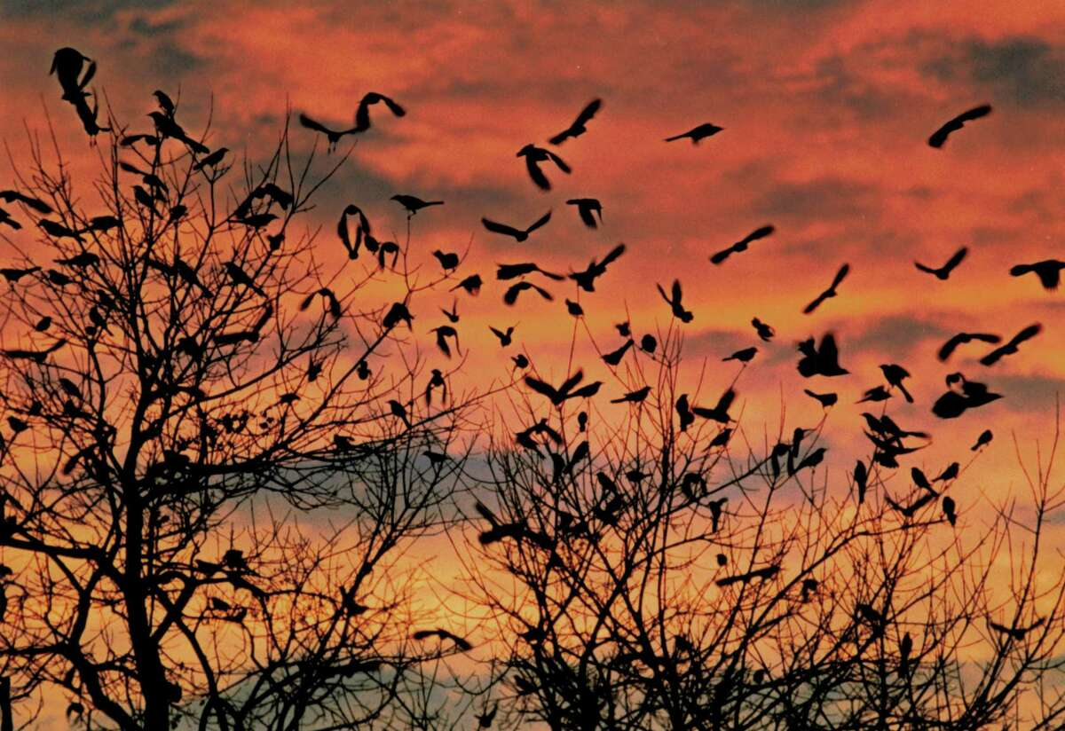 A flock of birds leave a downtown tree as a brilliant sunset colors the skies west of San Antonio.