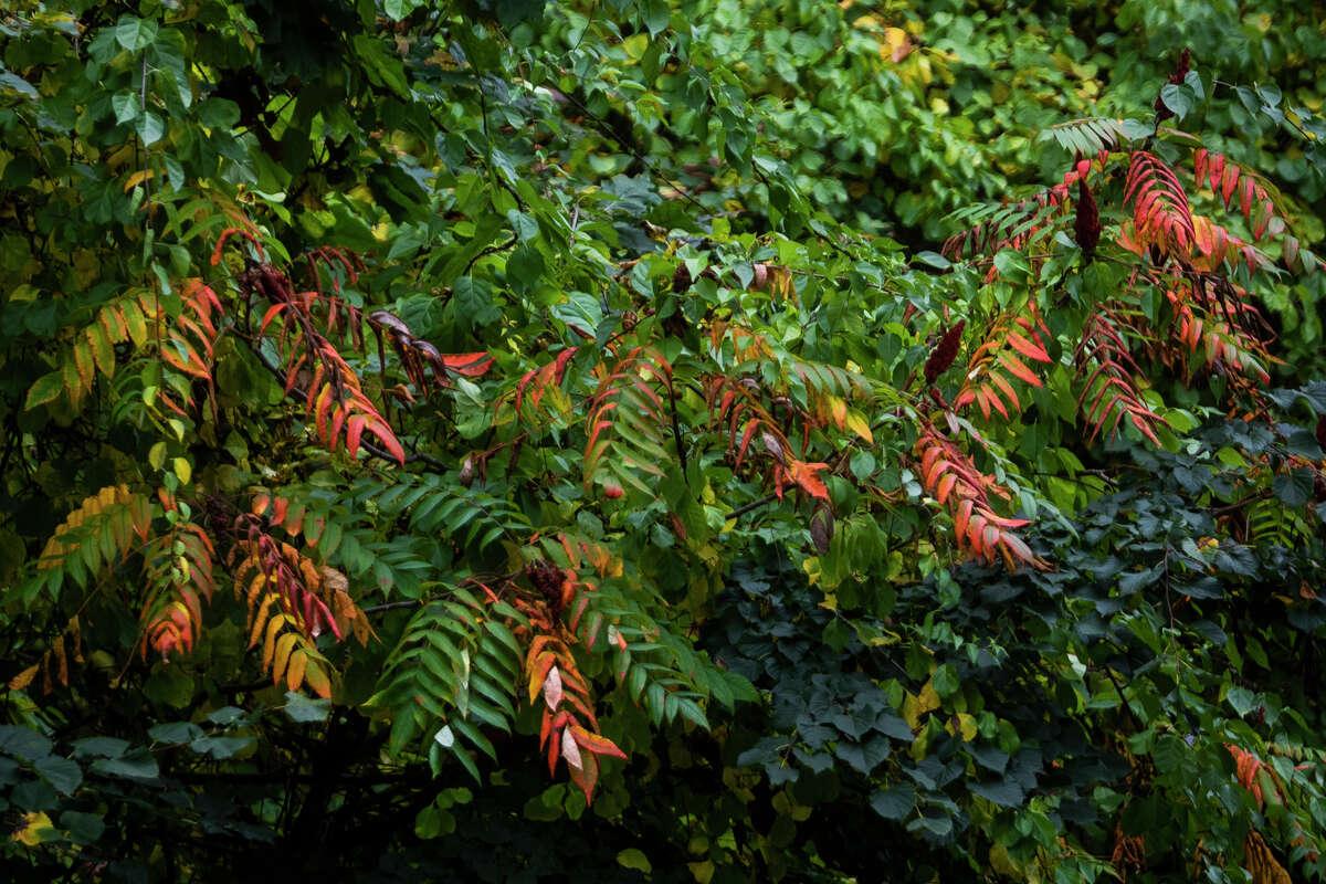 Leaves across Midland begin to show their fall colors Monday, Oct. 11, 2021. (Katy Kildee/kkildee@mdn.net)