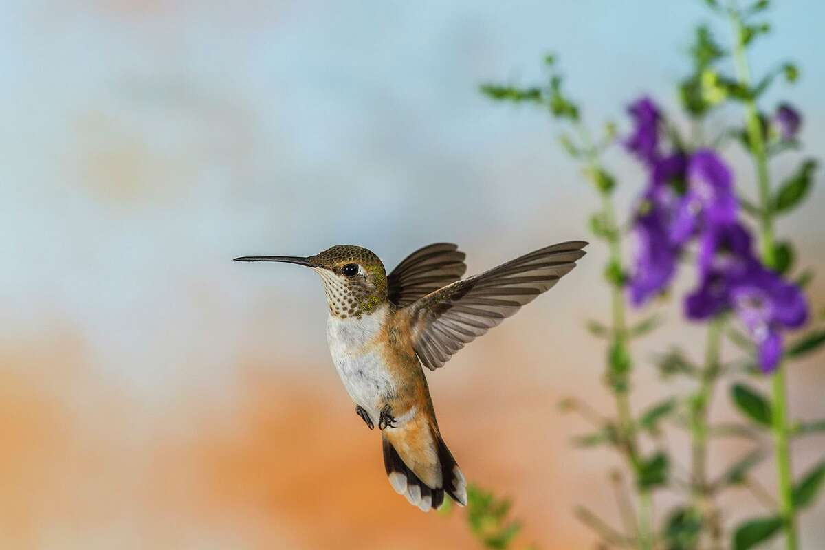 Rufous hummingbirds are attracted to hummingbird feeders and gardens with nectar-producing plants, such as salvia.