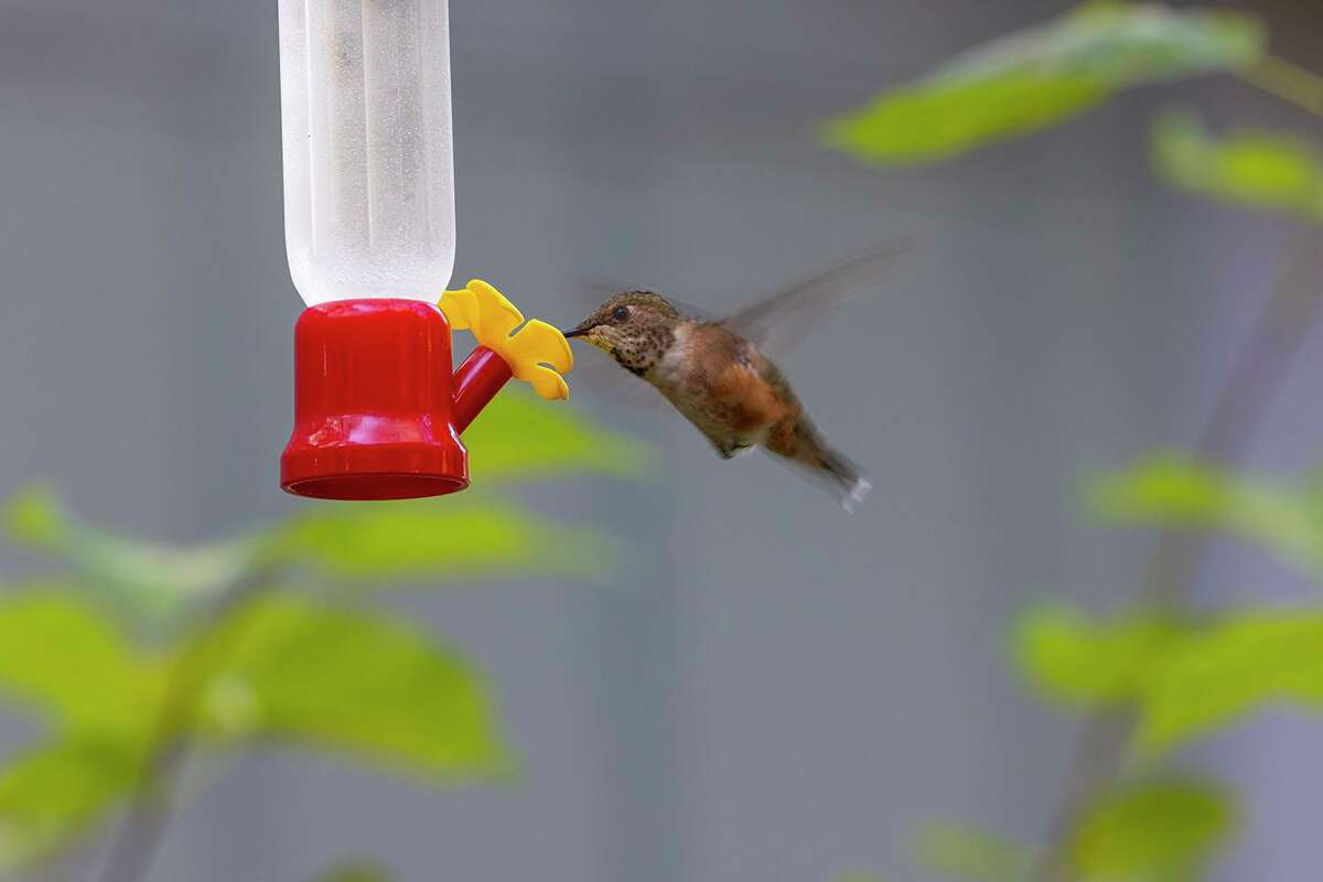 Rufous hummingbirds are annual winter residents in area neighborhood yards. They are very protective of their feeders.