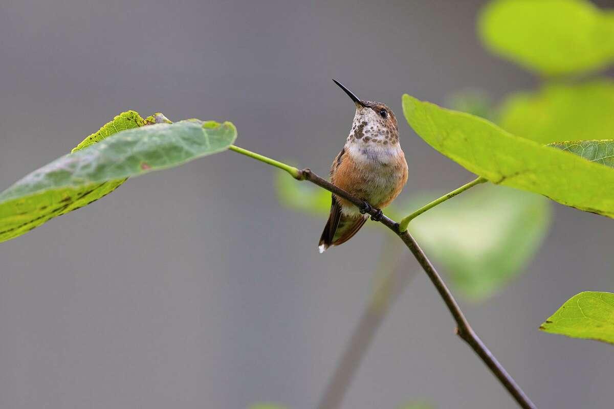 Rufous hummingbirds are annual winter residents in area neighborhood yards with hummingbird feeders and blooming flowers.