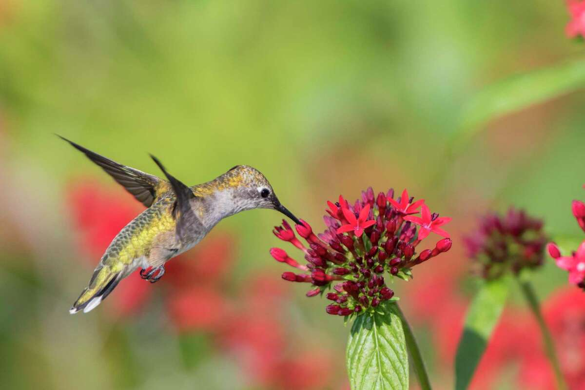 Ruby-throated Hummingbird (Archilochus colubris) is attracted to red pentas.