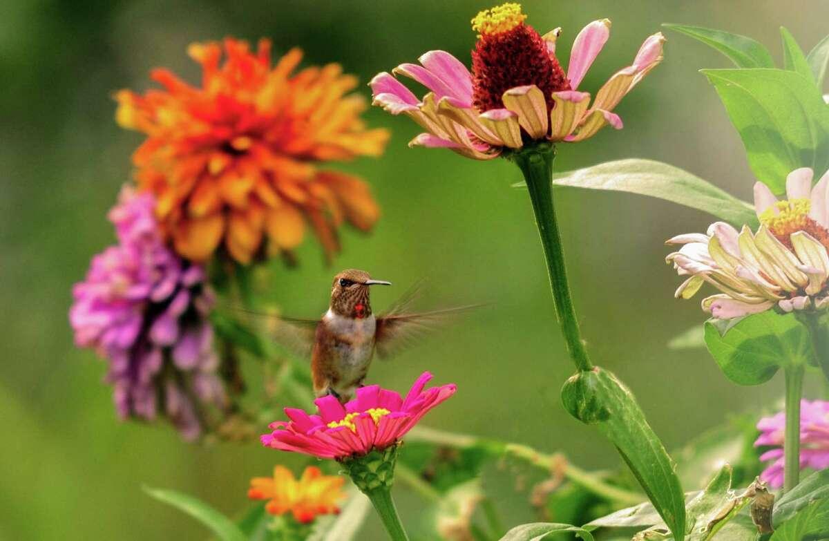 A rufous hummingbird (Selasphorus rufus) checks out a zinnia flower bed.