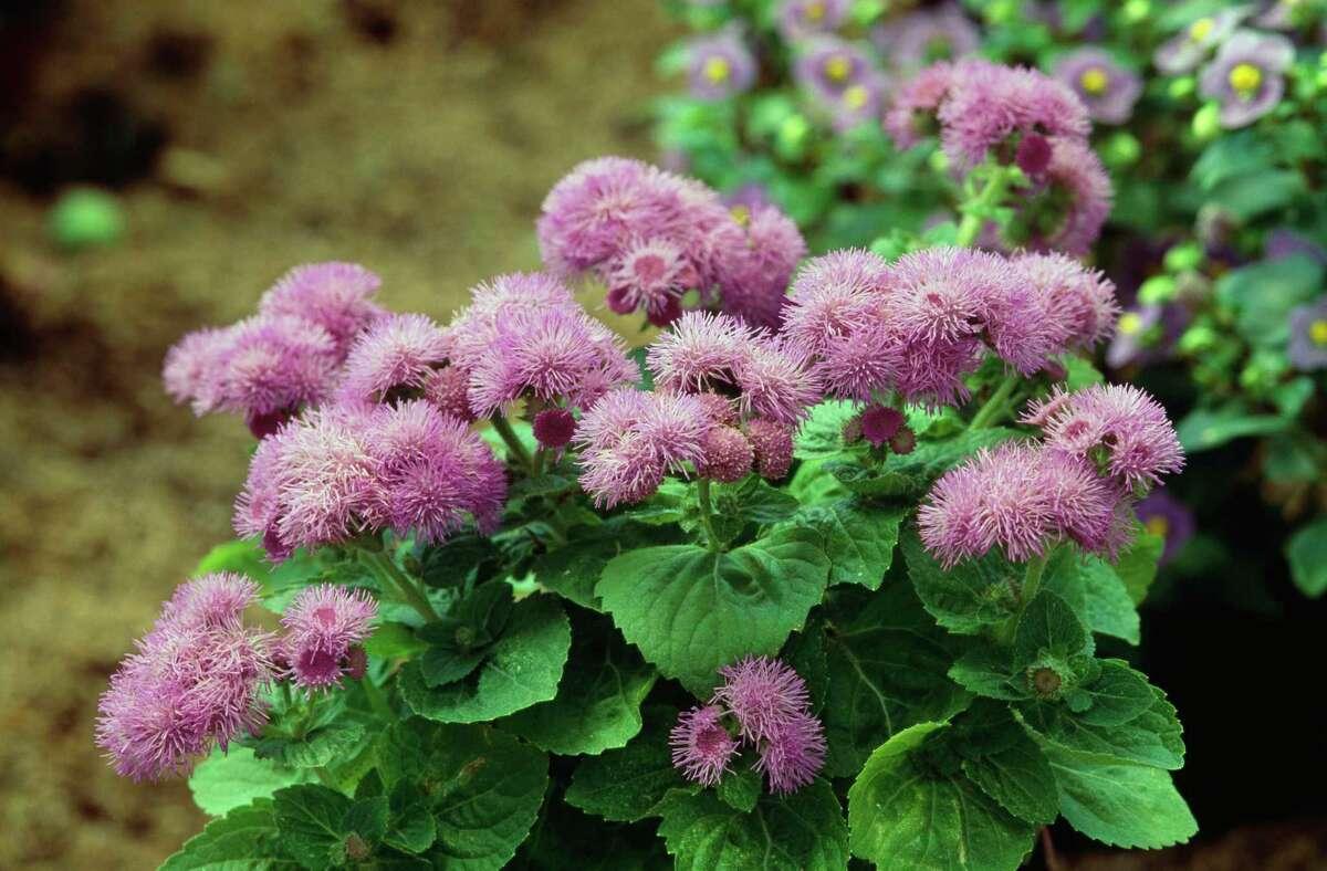 Ageratum (Ageratum houstonianum) draws pollinators.