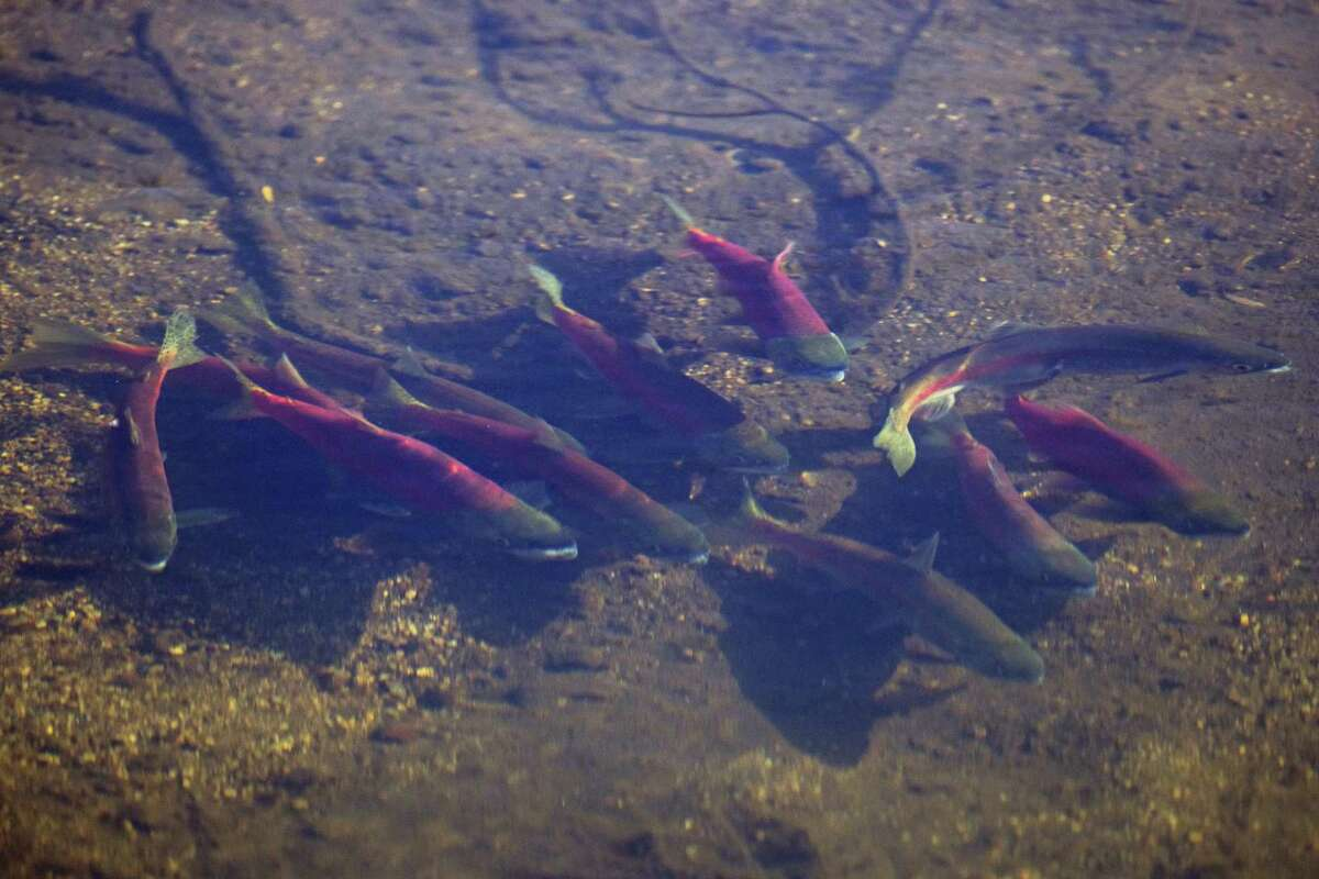 Kokanee salmon huddle in the shallow waters of the Upper Truckee River just before it flows into Lake Tahoe. Normally at this time of year, hundreds would be running upriver to spawn.