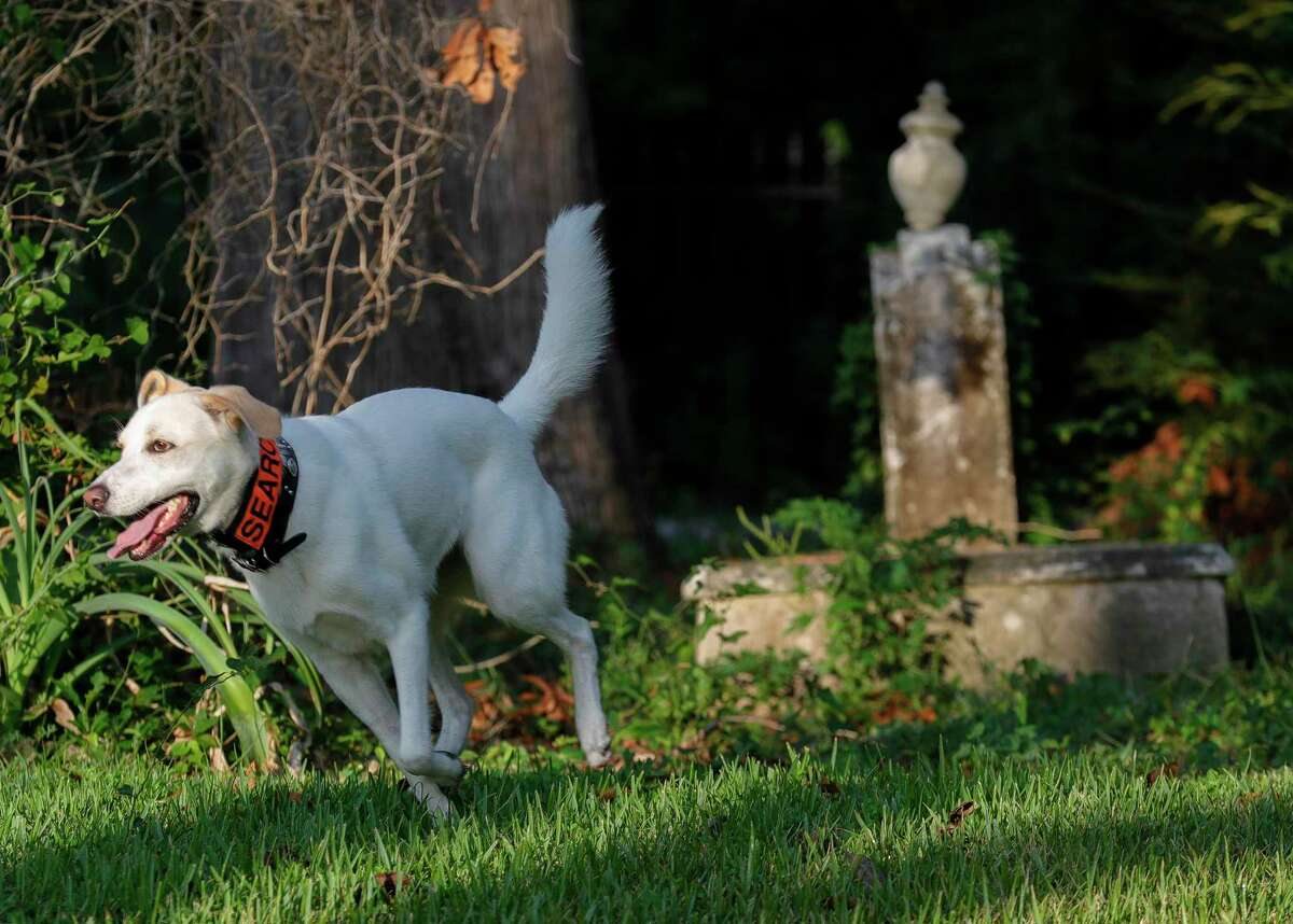Emmett, a Labrador mix with K-9 Search and Rescue of Texas, works to locate unmarked graves at Old Methodist Cemetery, Saturday, Oct. 9, 2021, in Montgomery. Many early burials in the 181-year-old site are not believed to have stone markers.