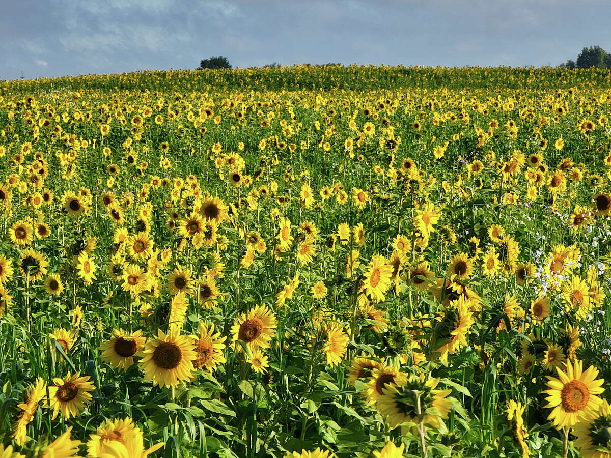 An abundance of yellow paints the horizon thanks to this field of sunflowers southwest of Bad Axe.