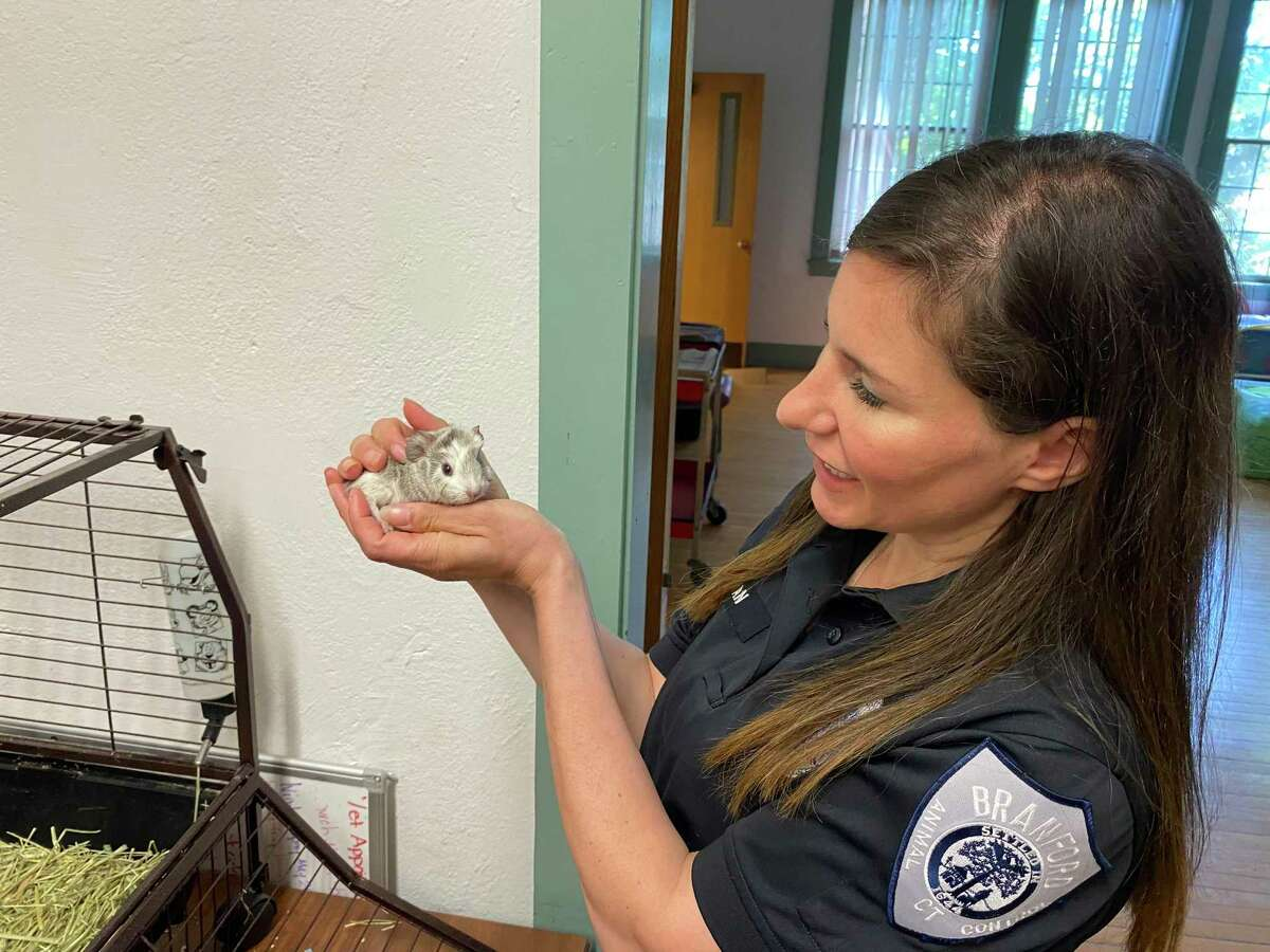 Laura Burban, director of the Dan Cosgrove Animal Shelter in Branford, holds a baby guinea pig that was born June 12.