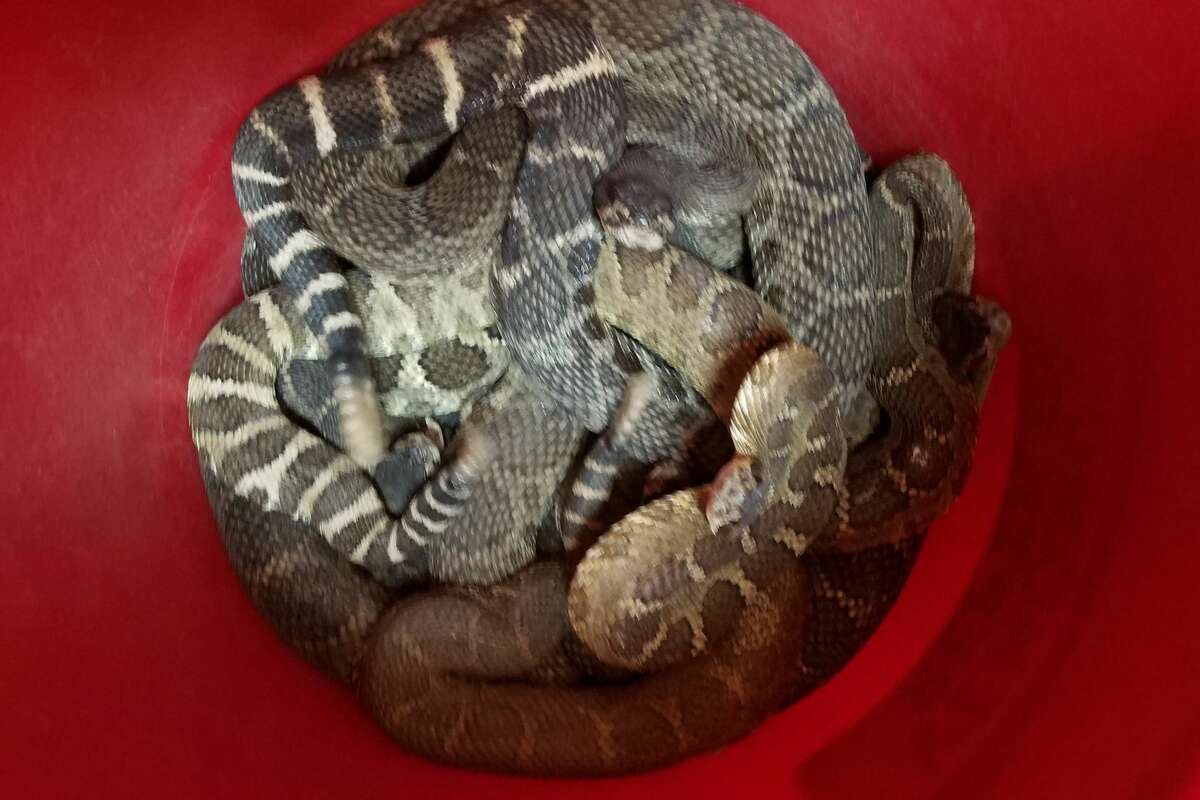 Sonoma County reptile rescue on October 2 found nearly 100 snakes in a hole under a Santa Rosa home.