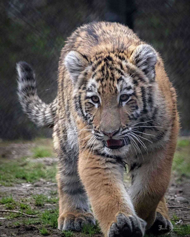 Reka as a cub at the Beardsley Zoo in Bridgeport, Conn.