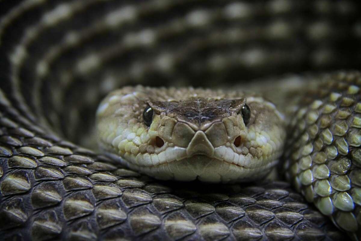 A rattlesnake looking at the camera.