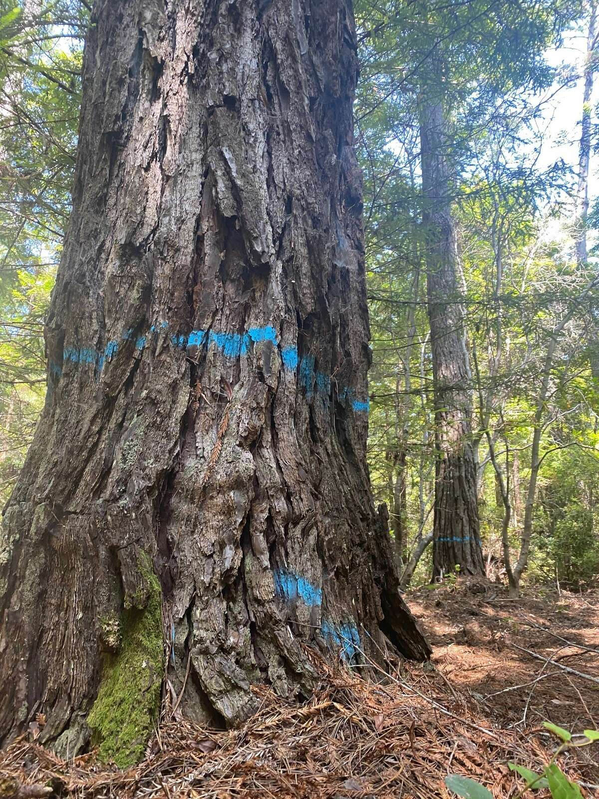 Trees marked in blue will be felled for a timber harvest in Jackson DemonstrationState Forest.