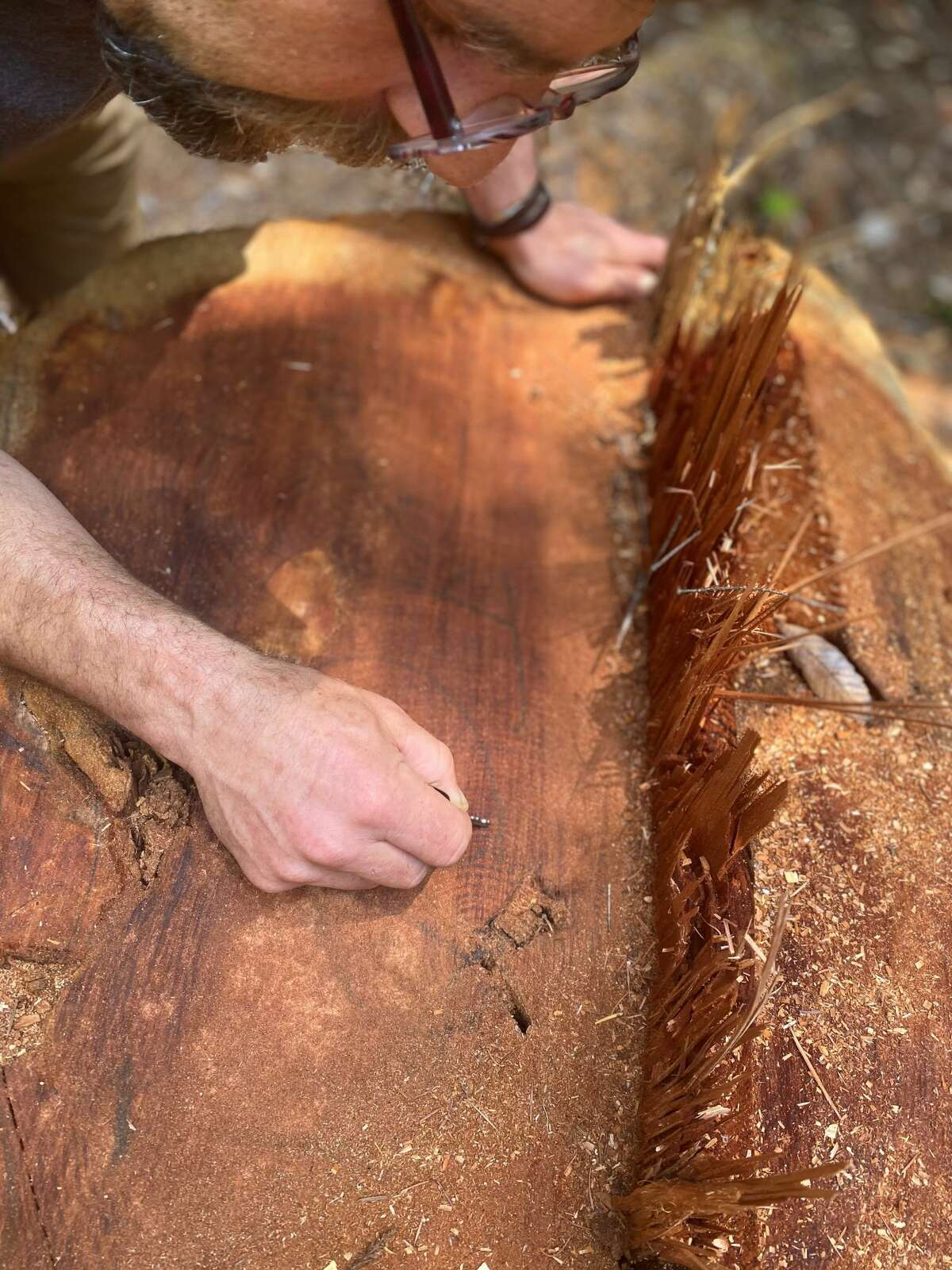 Chad Swimmer, president of the Mendocino Trail Stewards, counts the rings of a recently logged redwood in Jackson DemonstrationState Forest.