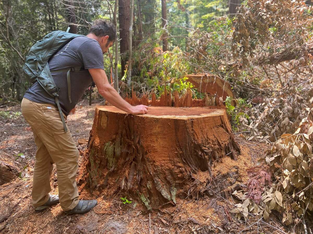 Chad Swimmer, president of the Mendocino Trail Stewards, studies the stump of a recently fallen redwood in Jackson DemonstrationState Forest.