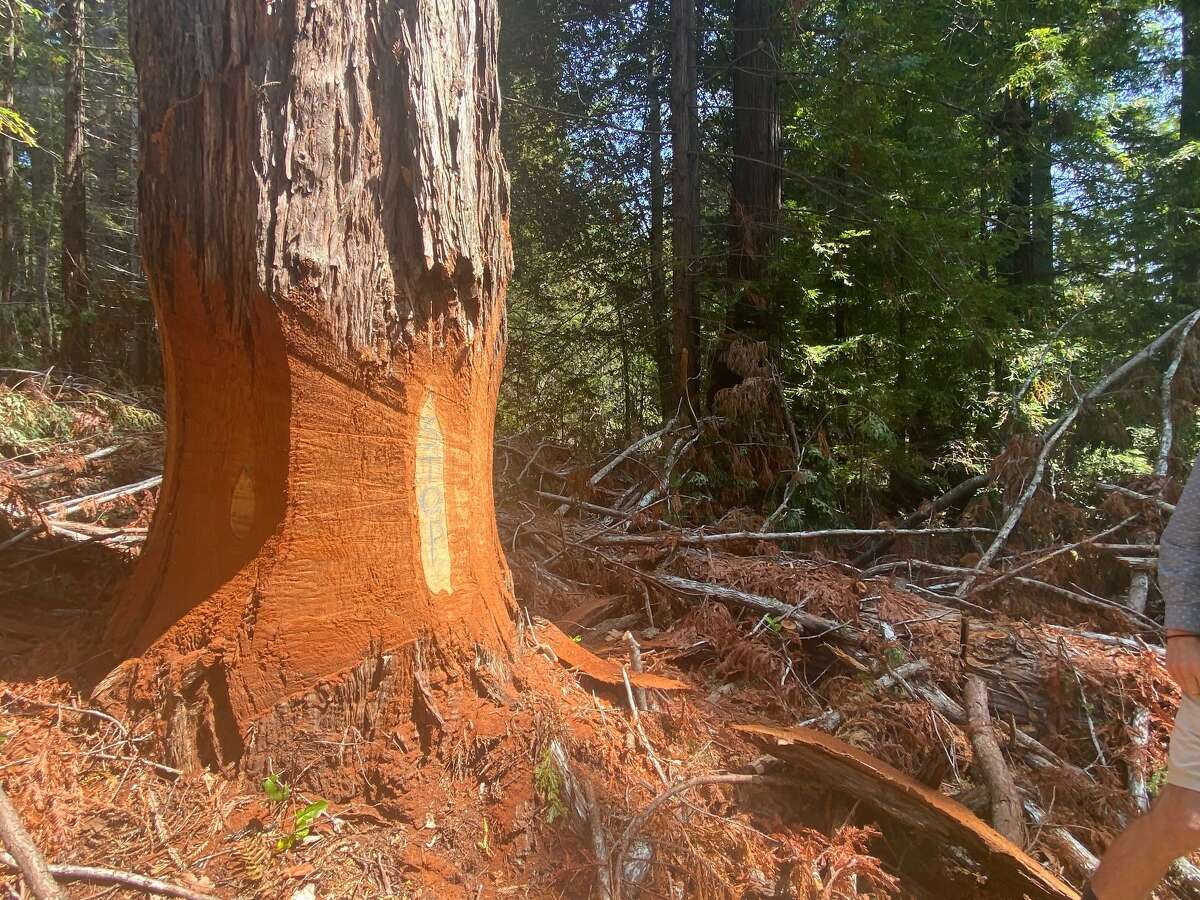 Activists have left a message to loggers on an inner layer of this girdled redwood.