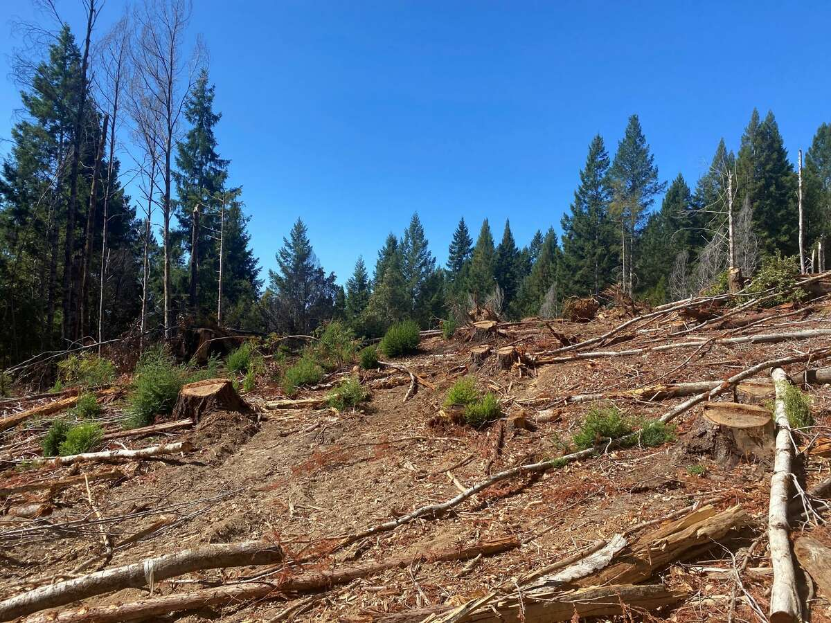 A recently logged site within Jackson Demonstration State Forest.
