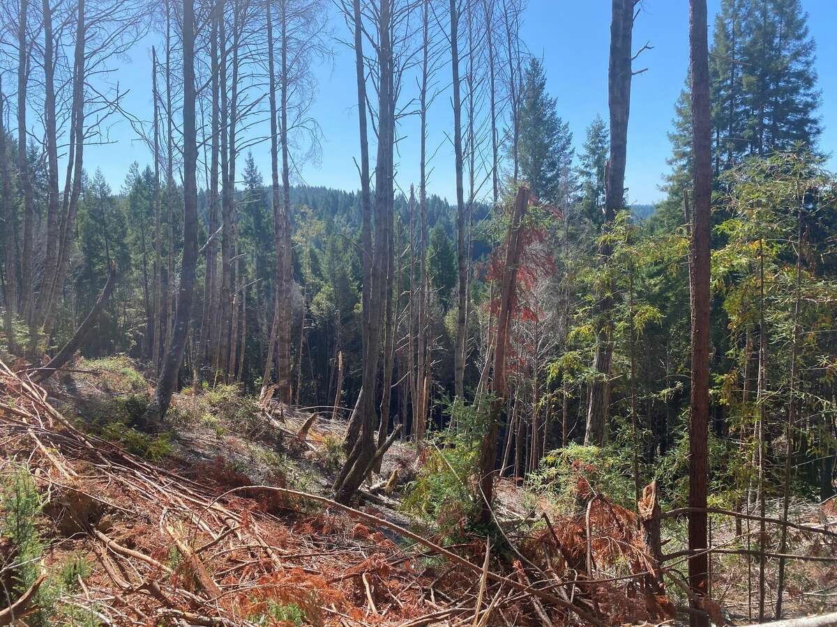 Some areas of Jackson Demonstration State Forest have an understory thick with flammable material.