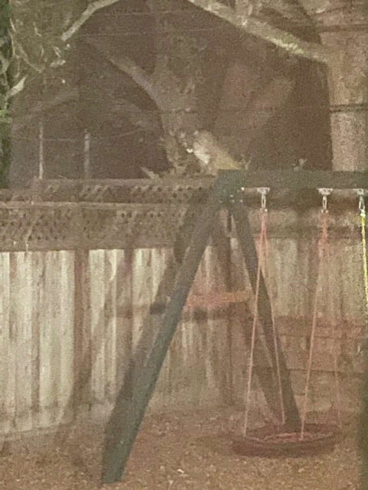 The San Mateo Police Department shared a photo taken of the mountain lion, which was spotted behind a homeby a resident who saw it standing near a recently killed raccoon.