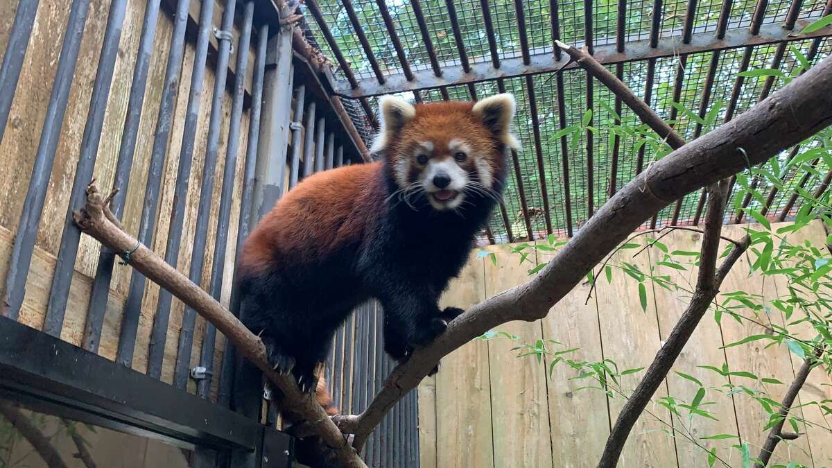 Ming Yue, a red panda that has been part of a popular exhibit at the Utica Zoo, died unexpectedly earlier this week. The panda was born eight years ago at the Prospect Park Zoo in New York City and brought to Utica the following year.