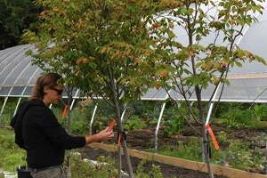 Scott Kellogg, educational director at the Radix Center,  inspects some of the new serviceberry trees to be planted around AlbanyÕs South End on Thursday, Oct. 14, 2021, at the Radix Center in Albany, N.Y.  A Radix Center program aims to plant 150 trees in the South End.
