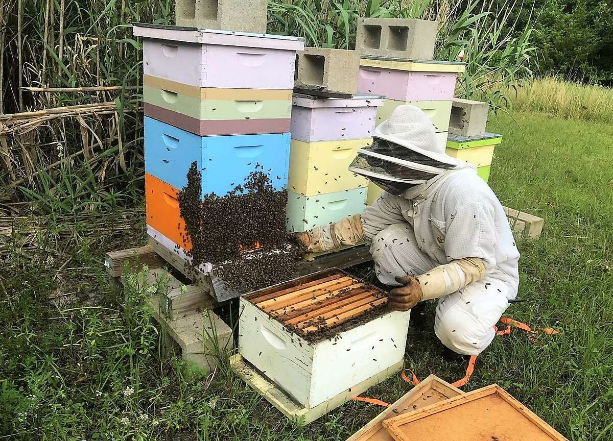 Jim Orr, president of the Harris County Beekeepers Association, attempts to corral a swarm of bees.